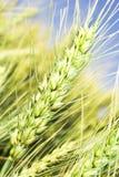 Weizenohren Stockfoto