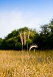 Weizenohren betriebsbereit zu ernten Stockbild