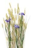 Weizenohren und purpurrote Blende Lizenzfreies Stockbild