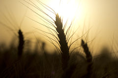 Weizenspitze Stockbild