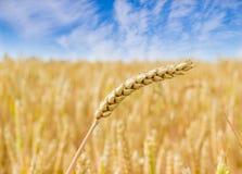 Weizenspitze auf dem Hintergrund der Feld- und Himmelnahaufnahme Lizenzfreies Stockbild