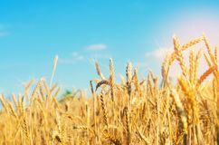 Weizenspitze und Nahaufnahme des blauen Himmels Ein goldenes Feld Schöne Ansicht Symbol der Ernte und der Ergiebigkeit Ernten, Br lizenzfreie stockfotografie