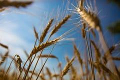 Weizenspitzen Lizenzfreie Stockfotos