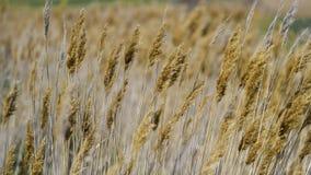 Weizenspitzen im Wind lizenzfreie stockbilder