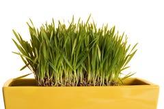 Weizensprößlinge Lizenzfreies Stockfoto