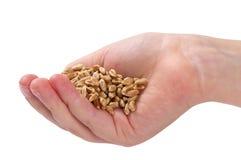 Weizenstartwerte für zufallsgenerator Stockfoto