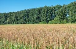 Weizenstoppel auf dem Feld Lizenzfreies Stockfoto