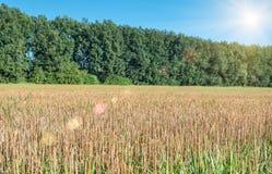 Weizenstoppel auf dem Feld Stockbilder