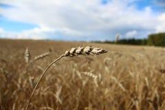 Weizenweizennahaufnahme Lizenzfreies Stockbild