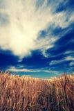 Weizenwiese Stockbild