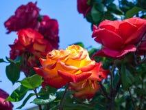 Wek roze op en orangw Royalty-vrije Stock Fotografie