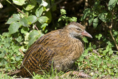 Weka Royalty Free Stock Photography