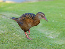 Weka Stock Photo