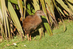 Weka Royalty Free Stock Image