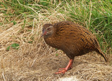 Weka bird Stock Photography
