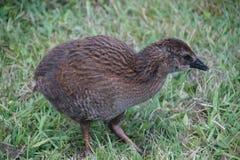 Weka, bird from New Zealand Royalty Free Stock Photo