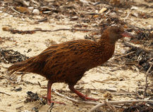 Weka bird Royalty Free Stock Images