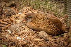 Weka, de Inheemse en Bedreigde Vogel van Nieuw Zeeland royalty-vrije stock foto