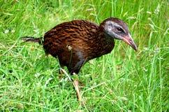 Weka, een flightless vogel royalty-vrije stock afbeeldingen