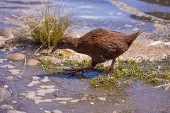 Weka fågel De flightless fåglarna för endemisk i Nya Zeeland Arkivfoton
