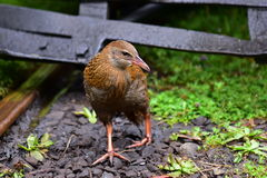 Weka, a flightless bird found in New Zealand Royalty Free Stock Photography