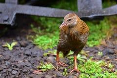 Weka, a flightless bird found in New Zealand Royalty Free Stock Photo