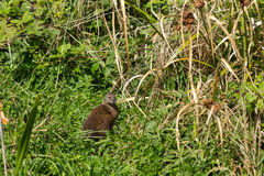 Weka, a flightless bird species in New Zealand Royalty Free Stock Photography