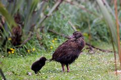Weka (Gallirallus australis) Royalty Free Stock Images