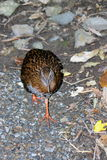Weka (Gallirallus australis) Royalty Free Stock Photo