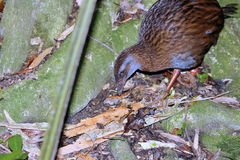 Weka (Gallirallus australis) Royalty Free Stock Photography
