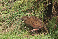 Weka in high grass. New Zealand Weka standign in grass royalty free stock photography