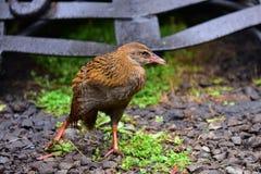 Weka, un oiseau incapable de voler a trouvé au Nouvelle-Zélande Photographie stock libre de droits