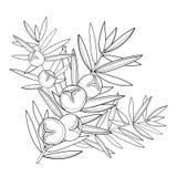 Wektor gałąź z konturu jałowem lub Juniperus communis Wiązka, jagoda i sosna w czerni odizolowywającym na białym tle, ilustracji