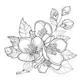 Wektor gałąź z konturu jaśminu kwiatami, pączkiem i liśćmi odizolowywającymi na białym tle, Kwieciści elementy dla wiosna projekt ilustracja wektor