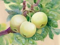 Wektor gałąź z liśćmi i jabłkami royalty ilustracja