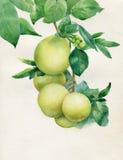 Wektor gałąź z liśćmi i jabłkami ilustracja wektor