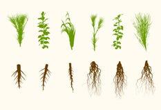 Wektor rośliny i korzeń Ustawiająca ilustracja Zdjęcie Royalty Free