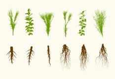 Wektor rośliny i korzeń Ustawiająca ilustracja Fotografia Stock