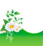 Wektorowa ilustracja chamomile kwiat Obrazy Stock