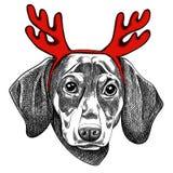 Wektorowa ilustracja jamnika pies dla kartki bożonarodzeniowa Jamnik z czerwonymi rogami renifer royalty ilustracja