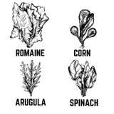 Wektorowa ilustracja szpinak, romaine, kukurudza, arugula Fotografia Stock