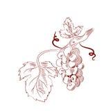 Wektorowa ilustracja wiązka winogrona Fotografia Stock