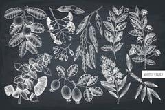 Wektorowa kolekcja Mirtowa rodzina zasadza ilustracje Wręcza patroszonego myrtus, herbaciany drzewo, guava owoc, eukaliptus, feij ilustracja wektor