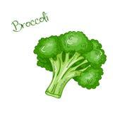 Wektorowa odosobniona świeża ręka rysujący kreskówka brokuły ilustracji