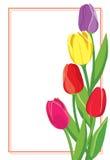Wektorowa pocztówka z barwionymi tulipanami Obrazy Stock