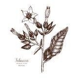 Wektorowa ręka rysująca ilustracja tytoń na białym tle Aromatyczny rośliny nakreślenie Mydlarni i kosmetyków składniki ilustracji