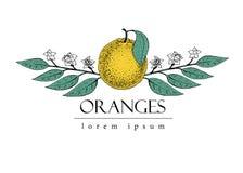 Wektorowa ręka rysujący loga szablon z liśćmi i pomarańczową owoc ptaka rocznik śliczny ilustracyjny ustalony Fotografia Royalty Free