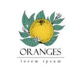 Wektorowa ręka rysujący loga szablon z liśćmi i pomarańczową owoc ptaka rocznik śliczny ilustracyjny ustalony Obraz Royalty Free