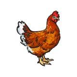 Wektorowa ręka rysujący nakreślenie kurczak odizolowywający royalty ilustracja