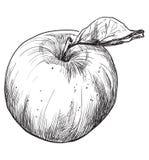 Wektorowa ręka rysuje fruit-3 ilustracji